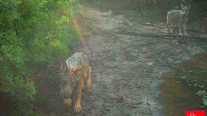 Dopo più di un secolo tornano i lupi a Roma