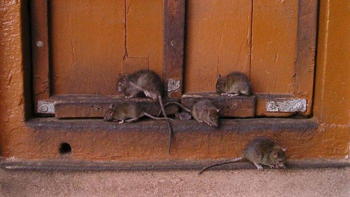 """L'invasione dei ratti spaventa i Paesi Bassi: """"Portano malattie che erano scomparse"""""""