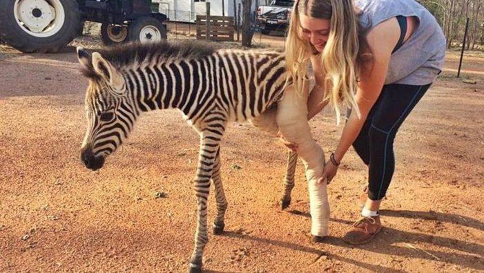 Il cucciolo di zebra ha la zampa rotta, nel rifugio gli salvano la vita