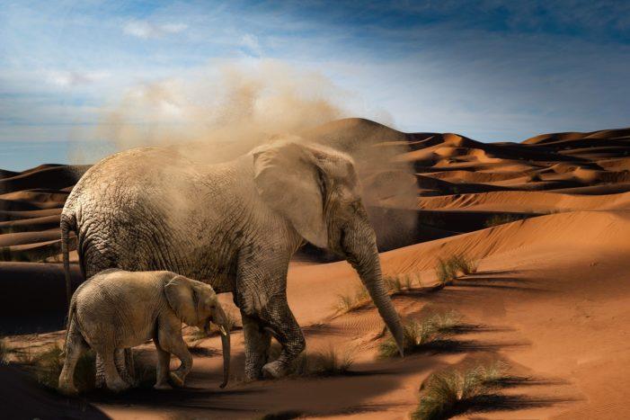 Gli elefanti del Mali rischiano l'estinzione, li protegge un gruppo di soldati