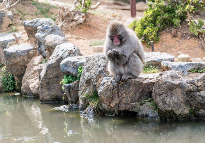 Anemiche e microcefale, ecco le conseguenze delle radiazioni sulle scimmie di Fukushima